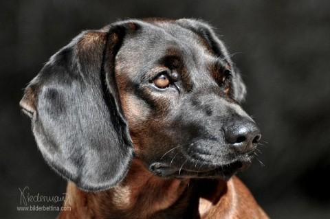 """Bayerischer Gebirgsschweißhund """"Puma"""" von Sandra Luber , Kohlfuchshaflinger Luber, Berching, Pollanten"""