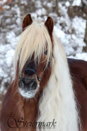 Haflinger Luber, Schnee, Februar