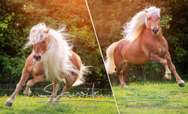 Haflinger Luber, Hengste, Pferdefotografie, Christiane Slawik, Sandra Luber