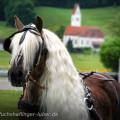 Haflinger Hengst liz. Steiermark vor dem Marathonwagen, Sandra Luber, lange Mähne