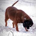 """""""Die Nase immer am Boden"""" Hündin Puma von Sandra Luber, Foto: Manuela Schneider, BGS, Kohlfuchshaflinger Luber, Pollanten"""