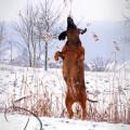 """""""Spaß im Schnee"""" Bayrischer Gebirgsscheisshund von Sandra Luber, Pollanten, Foto: Manuela Schneider, Kohfluchshaflinger Luber, Berching"""