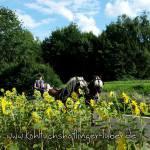 Kutsche fahren, Haflinger, Sonnenblumen, Sandra Luber