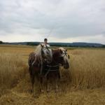 Haflinger Hengste vor Kutsche