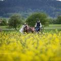 Haflinger Luber, Kutschenfahren, Rapsfeld, Pferd im Raps