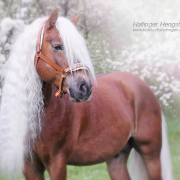 Haflinger Luber, Traumhengst