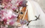 Portrait Haflinger Hengst Stoffl unter dem Magnolien Baum, April 2015, Pollanten, Sandra Luber