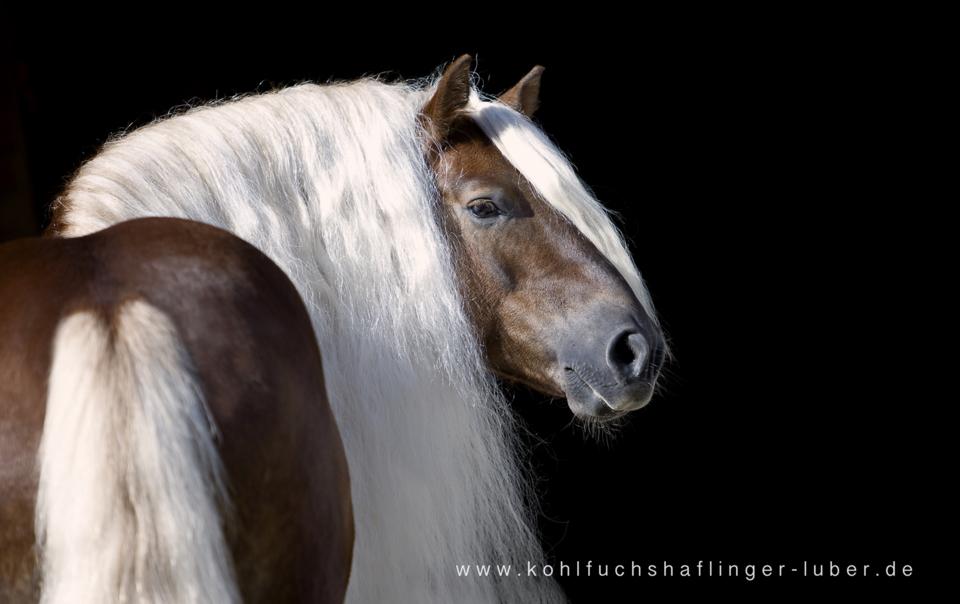Kohlfuchs Haflinger Sandra Luber, Berching, Pollanten